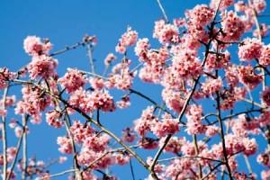 Duftöl - Kirschblüte 50 ml