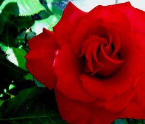Duftöl  Rose 50 ml