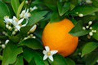 Fragrance oil - Orange blossom
