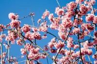 Fragrance oil -  cherry blossom